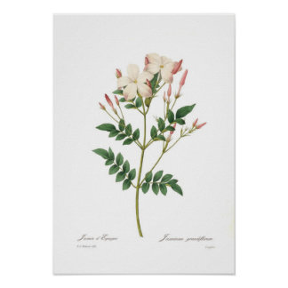 Jasminum grandiflorum poster