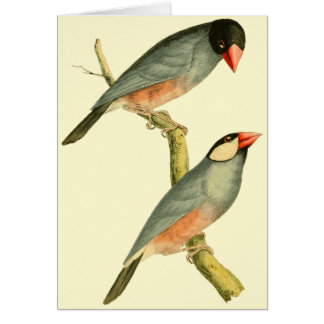 Java Sparrow, Card