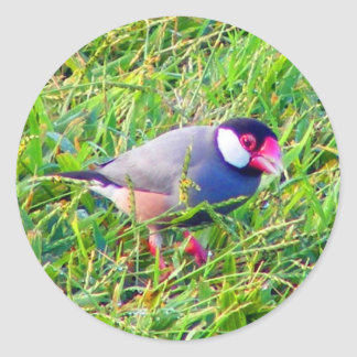 Java Sparrow in the grass in Hawaii Stickers