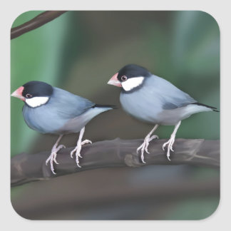 Java Sparrows Square Stickers