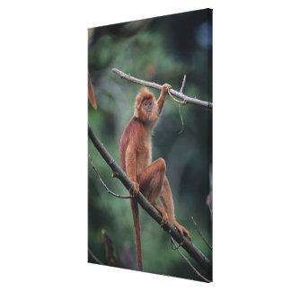 Javan black leaf monkey (Trachypithecus auratus) Canvas Print