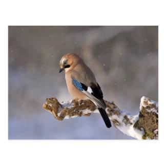 Jay bird sitting on a branch postcard