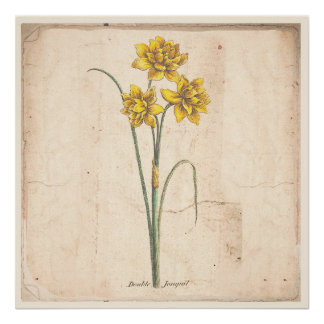 Jonquils Antique Botanical Print Poster