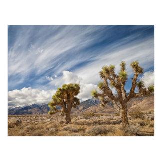 Joshua Trees in Desert Postcard