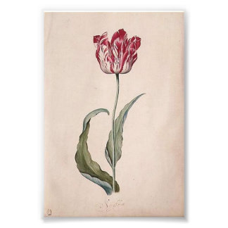 Judith Leyster Tulip Print Photographic Print