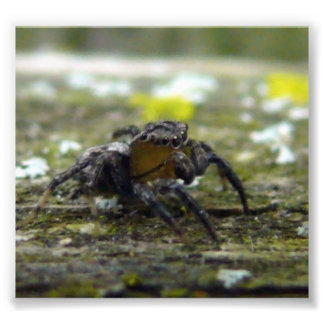 jumping spider photograph
