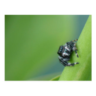 Jumping Spider Postcard
