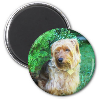 Just another day for a Silky Yorkie Terrier Magnet