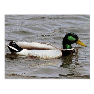 Just Ducky Postcard