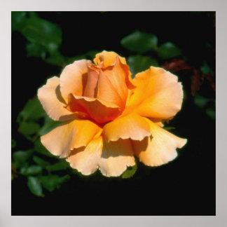Just Joey hybrid tea rose Posters