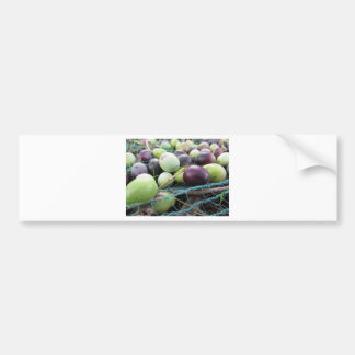 Just picked olives on the net during harvest time bumper sticker