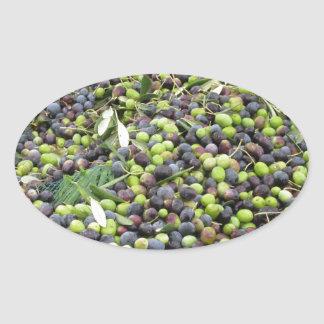 Just picked olives on the net during harvest time oval sticker