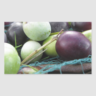 Just picked olives on the net during harvest time rectangular sticker