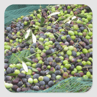 Just picked olives on the net during harvest time square sticker