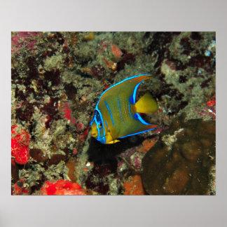 Juvenile Angelfish Poster