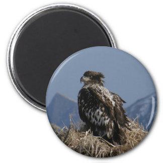 Juvenile Bald Eagle by the Shore Fridge Magnets