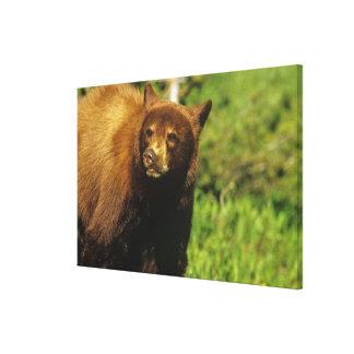 Juvenile black bear at Waterton Lakes National Gallery Wrap Canvas