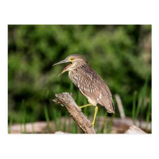 Juvenile Black Crowned Night Heron Postcard