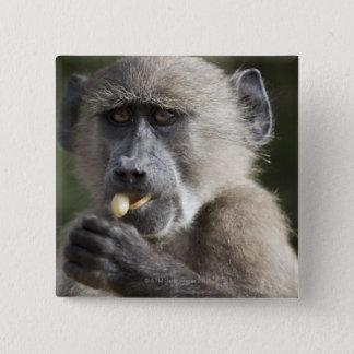 Juvenile Chacma baboon (Papio ursinus) eats nuts 15 Cm Square Badge