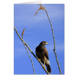 Juvenile Harris's Hawk in Ocotillo Plant Card