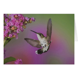 Juvenile male Ruby Throated Hummingbird in Greeting Card