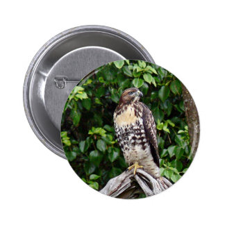Juvenile red-tailed hawk pinback buttons