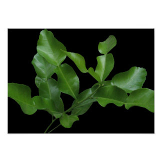 Kaffir Lime Leaves Poster