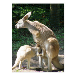 Kangaroo Joey  Postcard