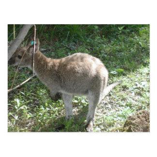 Kangaroo Postcard! Postcard