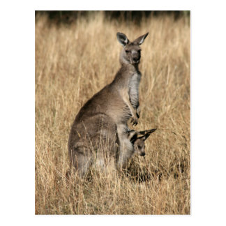Kangaroo with Baby Joey in Pouch Postcard