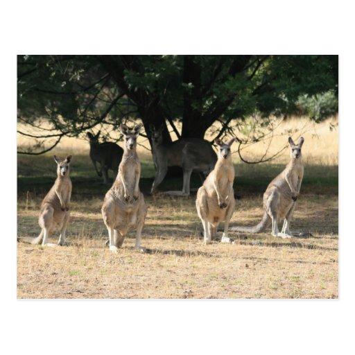 Kangaroos in a Row Postcard