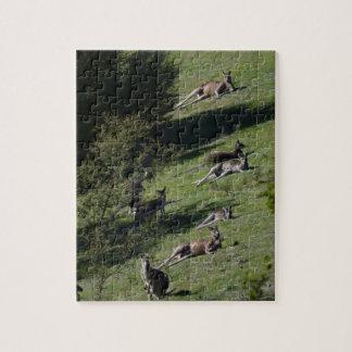 kangaroos jigsaw puzzles