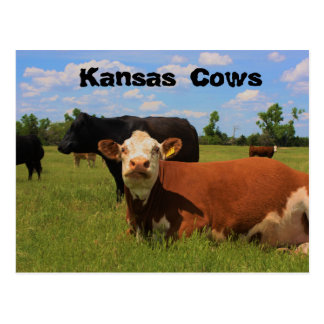 Kansas Cows Hereford and Angus cows Post Card