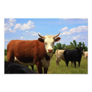 Kansas Cow's in a Pasture Photo Enlargement