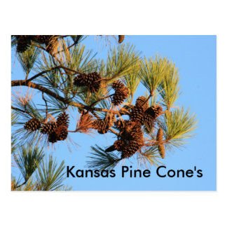 Kansas Pine Cone's with Blue sky POST CARD