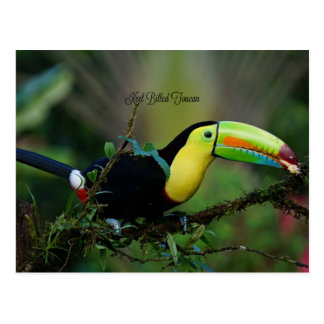 Keel Billed Toucan, tropical bird Postcard