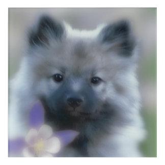 Keeshond and Columbine  - Dog Photograph Acrylic Wall Art