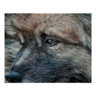 """Keeshond Expressions """"Intensity"""" Print"""