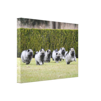 Keeshond puppies running canvas print