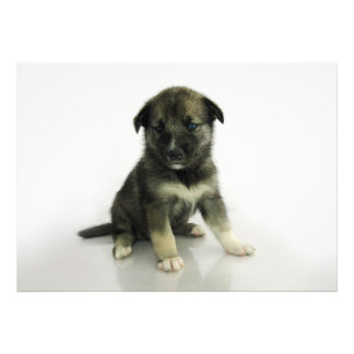 Keeshond Siberian Husky Crossbreed Puppy Photo Art