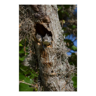 Kendall County, Texas. Black-crested Titmouse Poster
