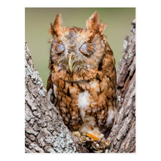 Kendall County, Texas. Eastern Screech-Owl 1 Postcard