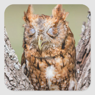 Kendall County, Texas. Eastern Screech-Owl 1 Square Sticker