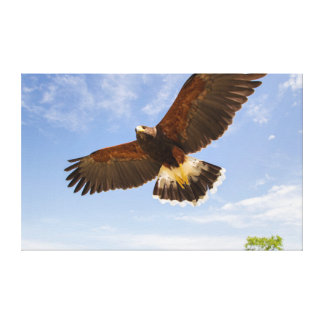 Kendall County, Texas. Harris's Hawk Gallery Wrapped Canvas