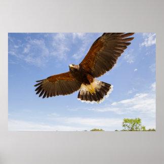 Kendall County, Texas. Harris's Hawk Poster