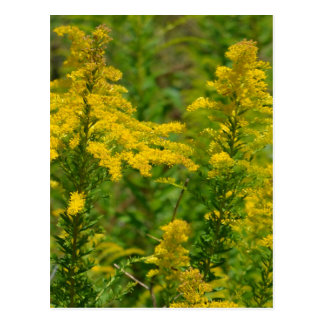 Kentucky Goldenrod Postcard