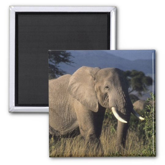 Kenya: Amboseli, male African elephant Magnet
