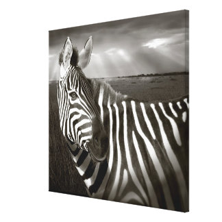 Kenya. Black & white of zebra and plain. Gallery Wrap Canvas