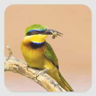 Kenya. Close-up of little bee-eater bird on limb Square Sticker