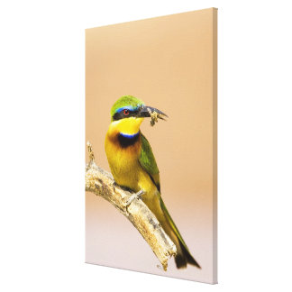 Kenya. Close-up of little bee-eater bird on limb Stretched Canvas Prints